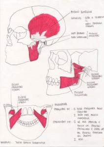 muscoli-masticatori